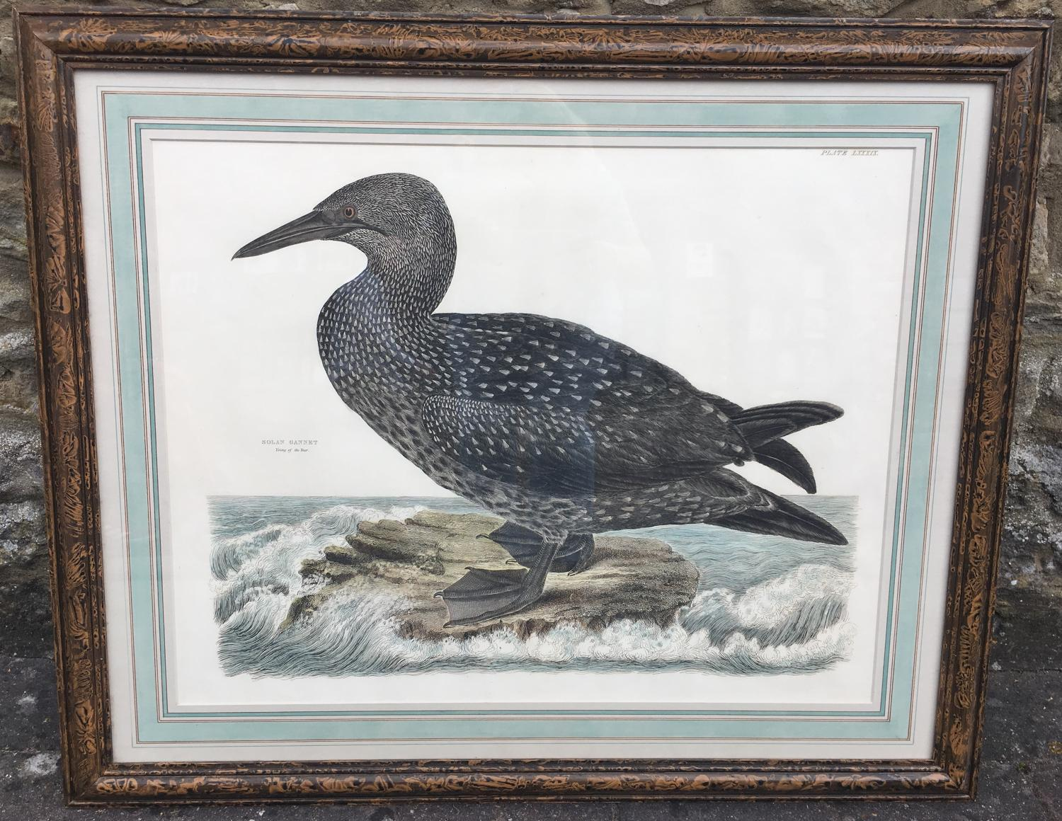 Prideaux coloured engravings of seagull and gannet 19th century